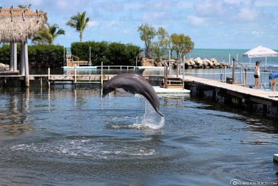 A jumping dolphin