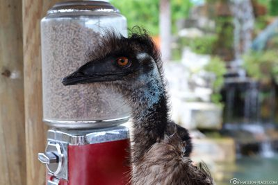 The emu on the feed dispenser