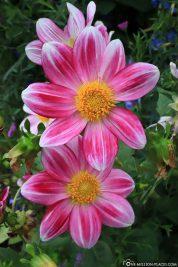 Blumen in Monets Garten