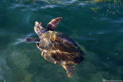Eine Karettschildkröte an der Hafenpomenade