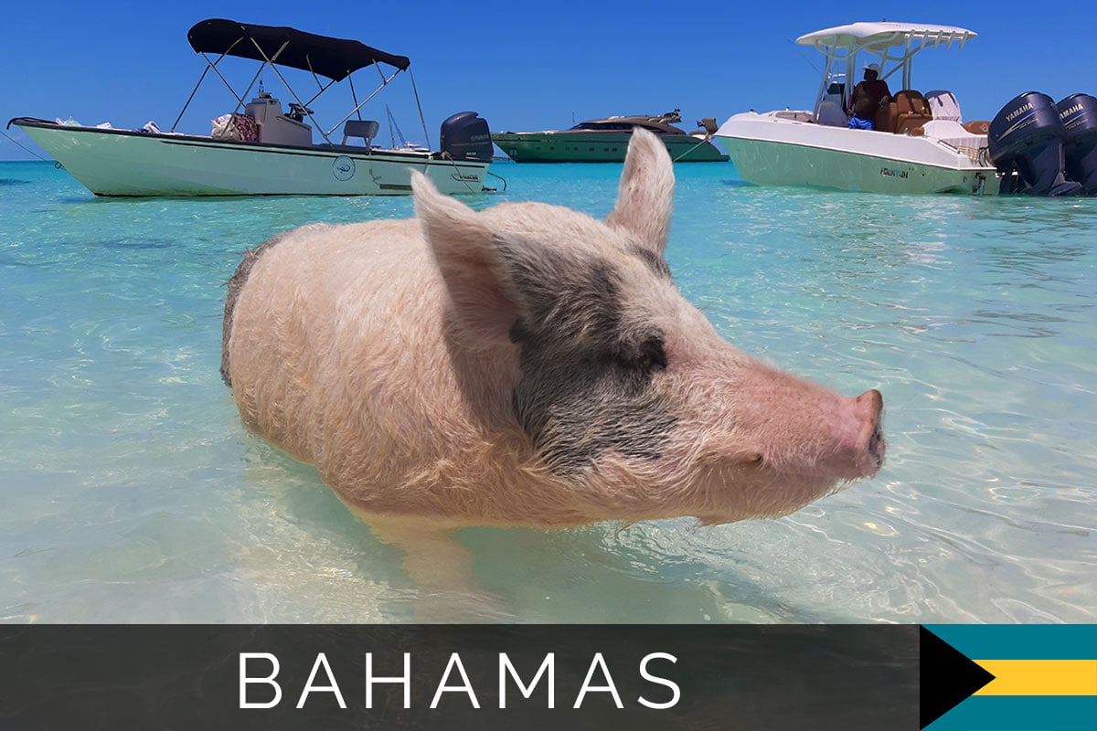 Pigs Bahamas cover