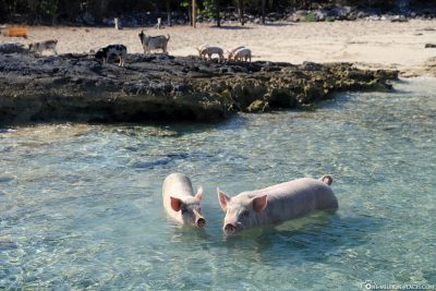 Welcome by the floating pigs of Dove Cay