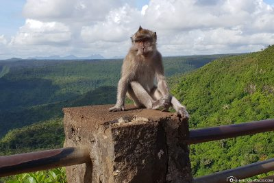 A macaque monkey at the lookout point