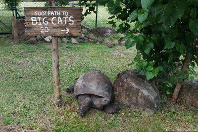 An Aldabra giant tortoise in Casela Park
