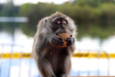 A Macake Monkey at the Grand Bassin