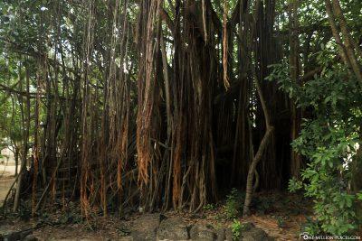 Die riesigen Wurzeln der Banyan-Feige