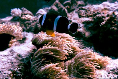 Anemone fish at the dive site Three Anchor