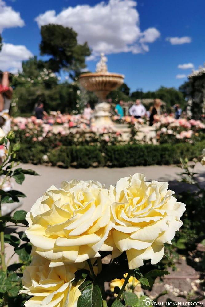 Rosen, Garten, Retiro Park, Madrid, Spanien, Sehenswürdigkeiten, Fotospots, Reisebericht