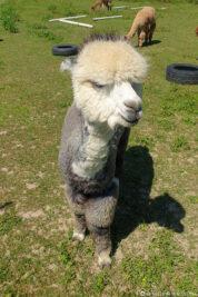 A grey alpaca