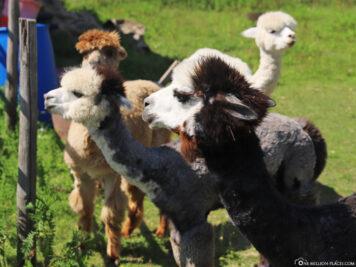 The Alpaca Farm Abayomi-Lieser