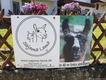 Sajama Lama in Jettingen-Scheppach