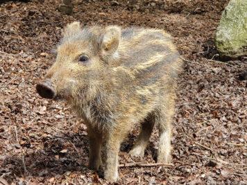Wildschwein-Ferkel